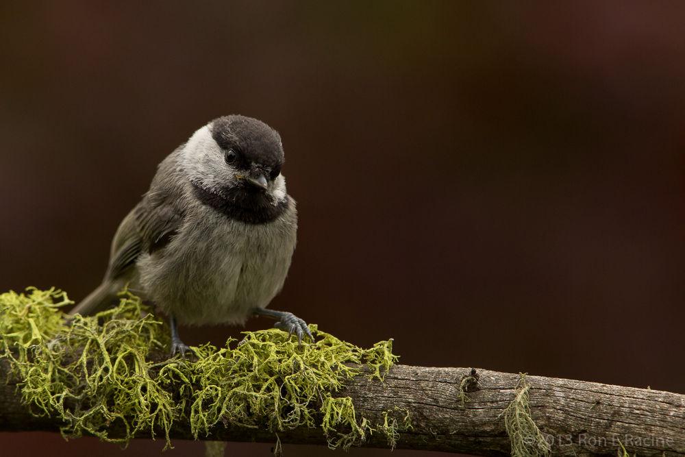 Mountain Chickadee by RonERacine