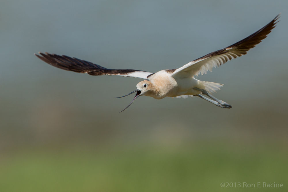 American Avocet in Flight by RonERacine