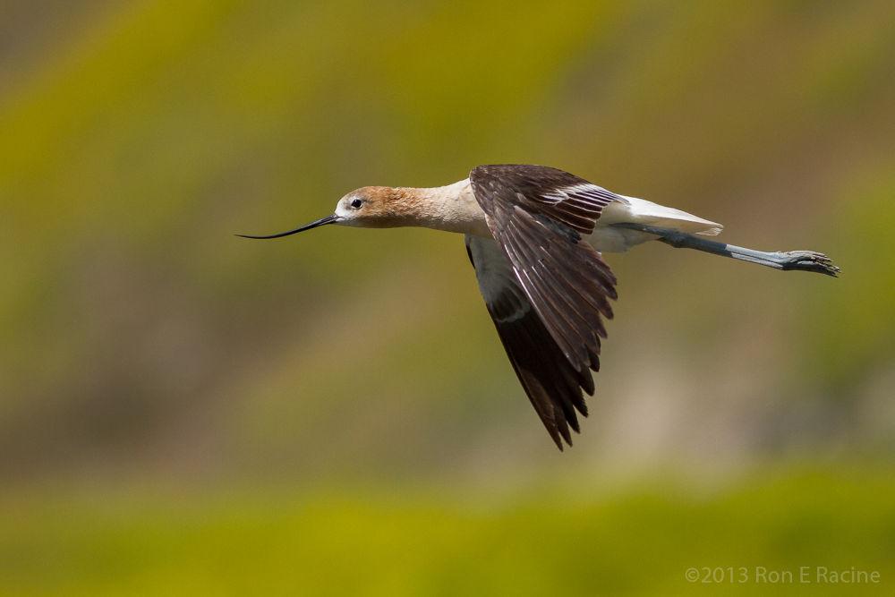 American Avocet in Flight by RonERacine