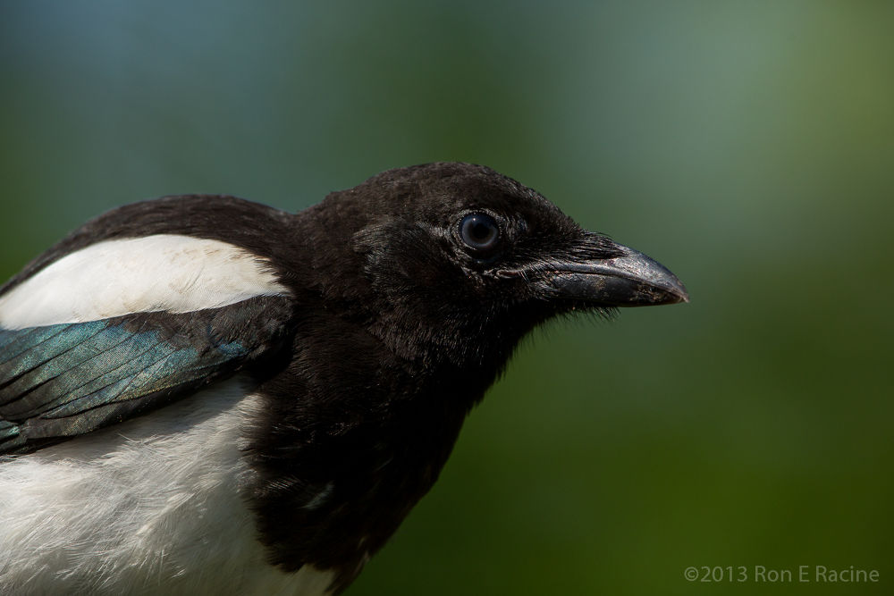 Juvenile Magpie Close-up by RonERacine