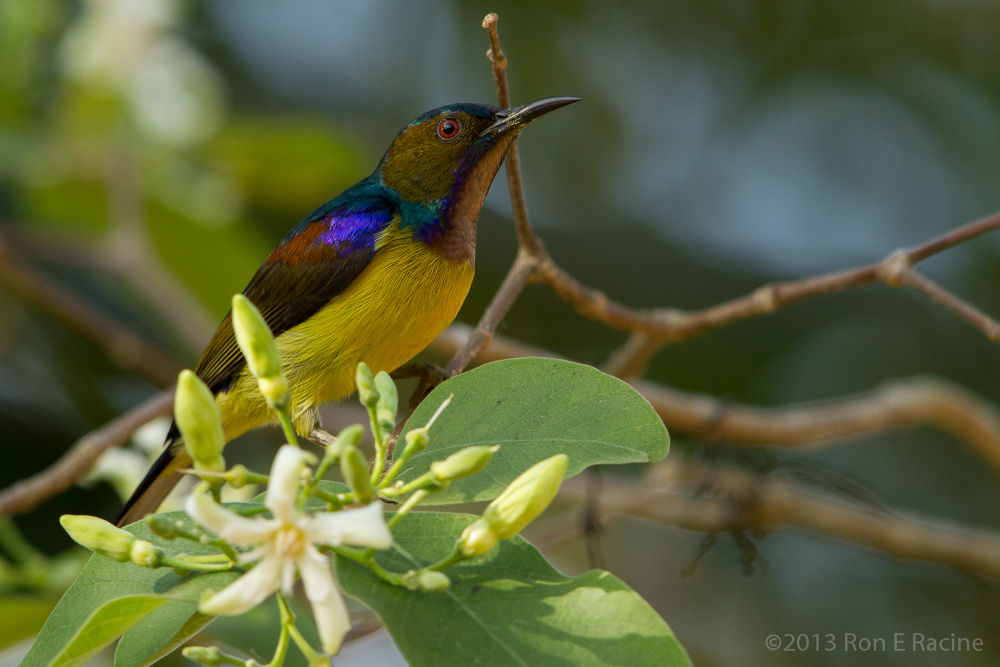 Photo in Random #sunbird #bird #birds #nature #wildlife #thailand