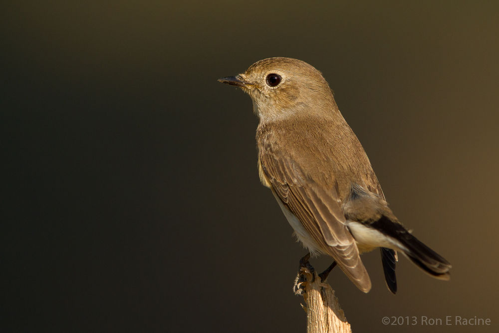 Asian Brown Flycatcher by RonERacine