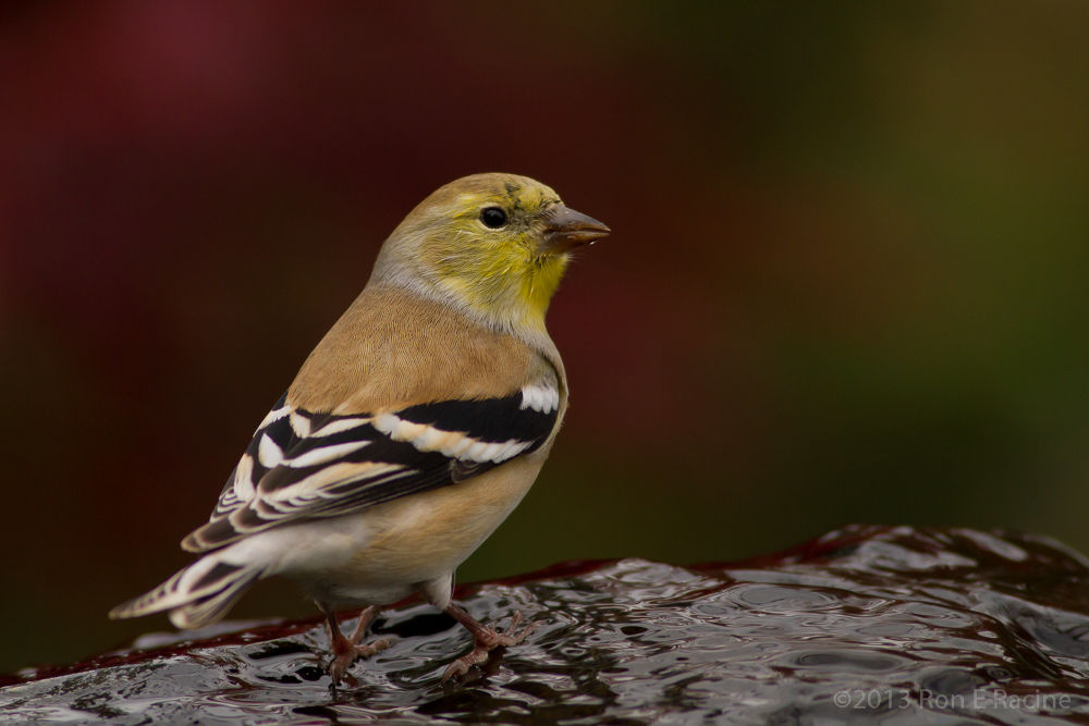 American Goldfinch by RonERacine