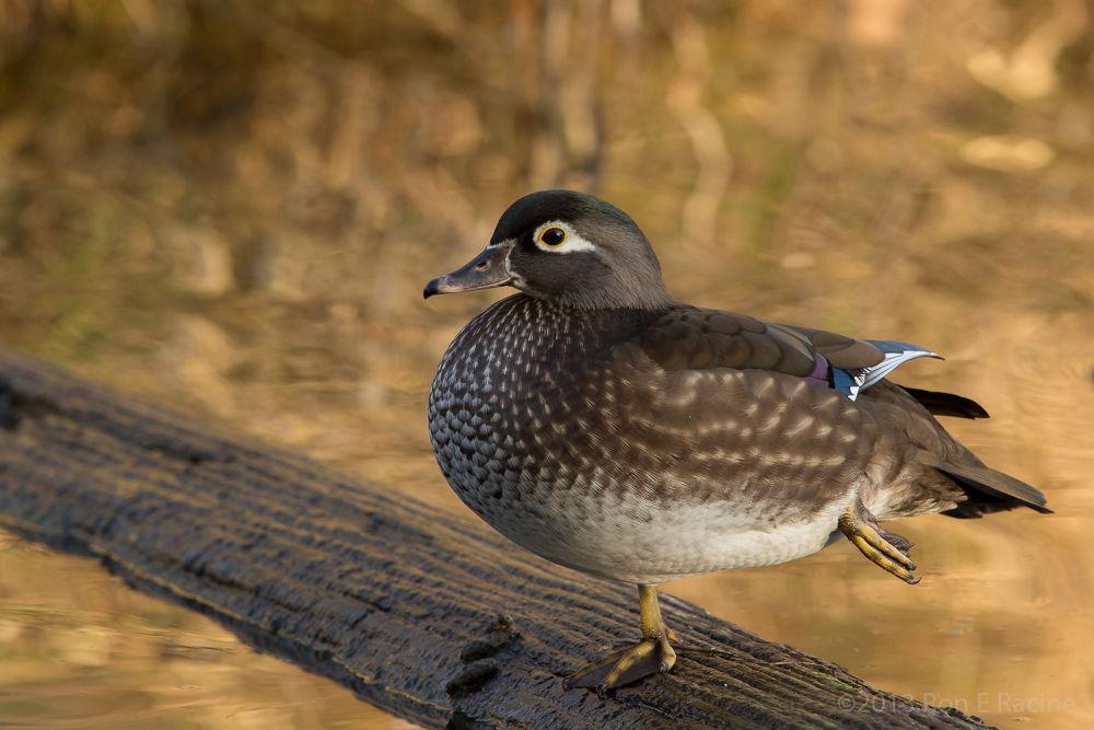 Female Wood Duck by RonERacine