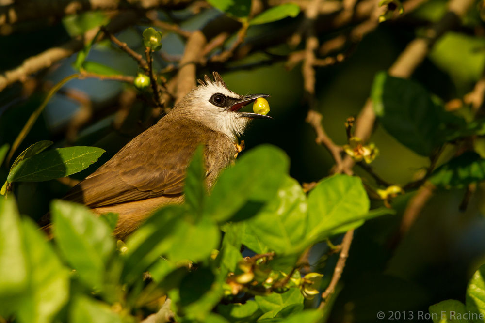 Yellow-vented Bulbul by RonERacine