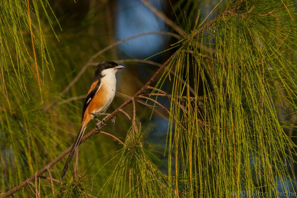 Long-Tailed Shrike by RonERacine