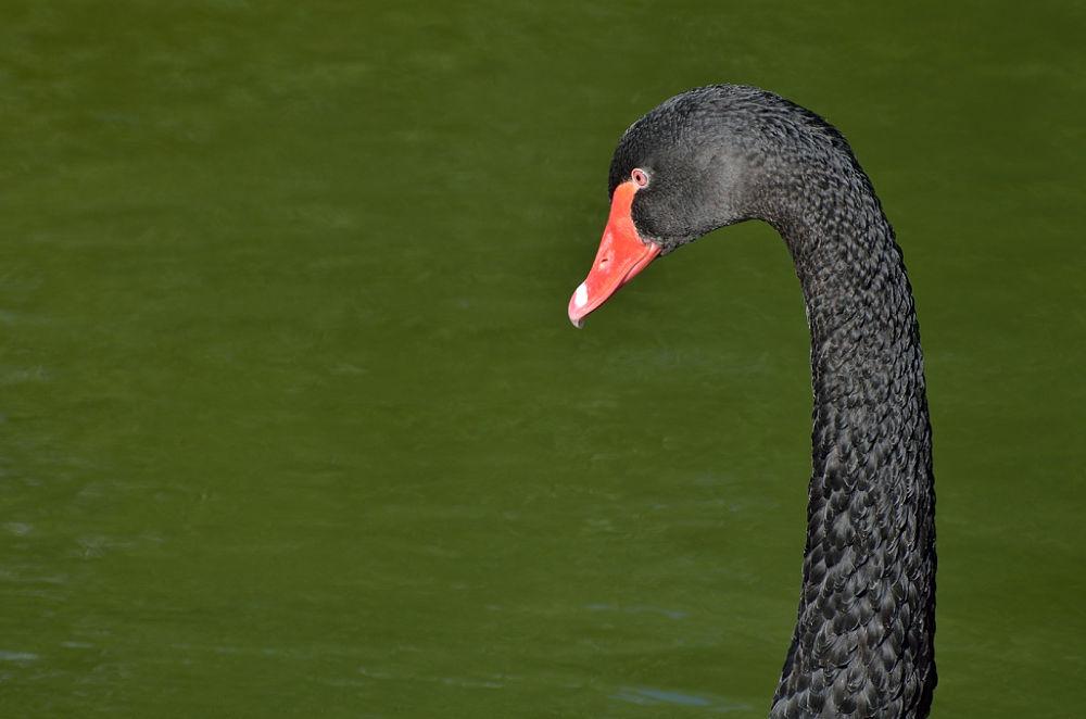 Cisne negro by fotografialola