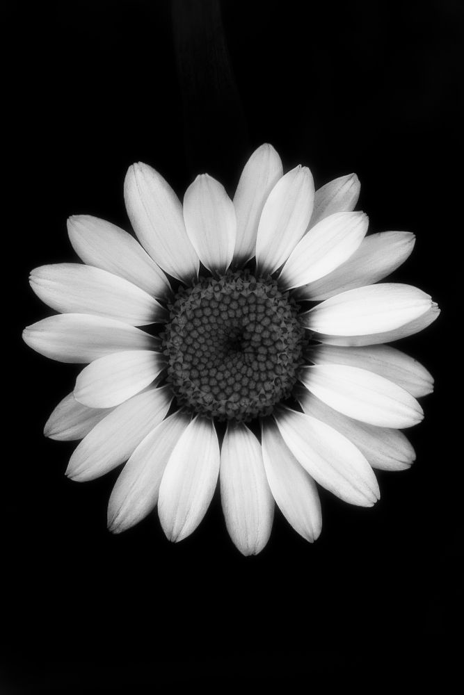 Photo in Black and White #daisy #flower #black and white #nature #malmö #malmo #malmoe #sweden #sverige