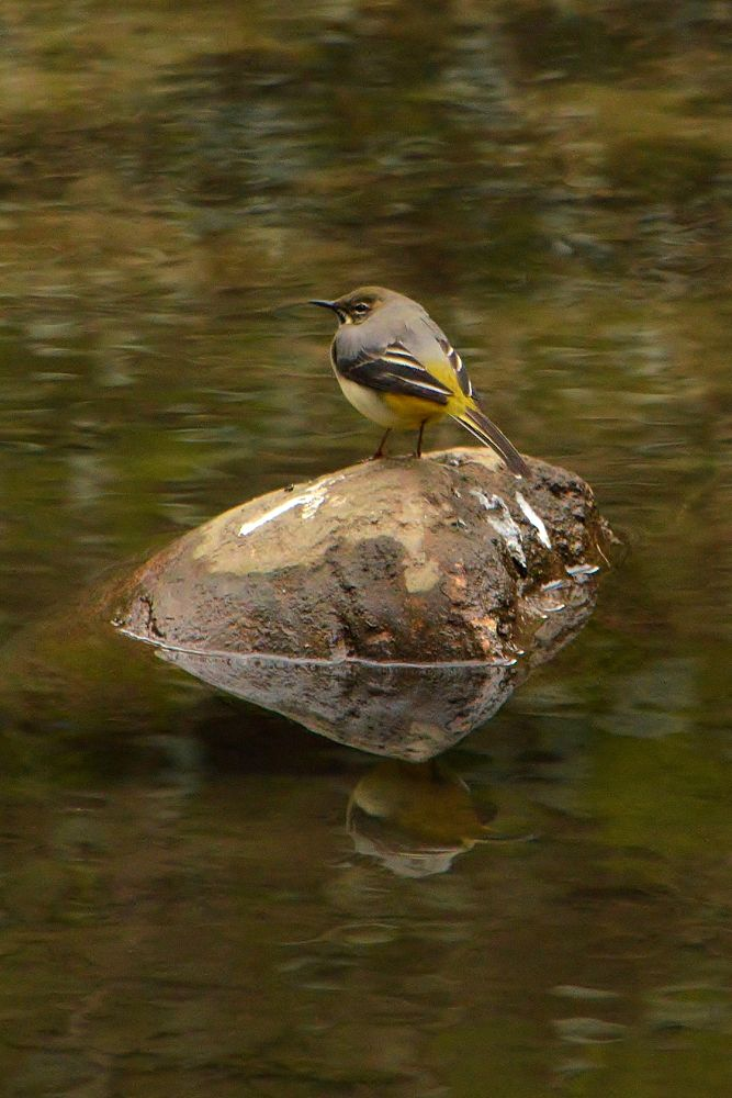 Grey Wagtail by Mart  R Porter