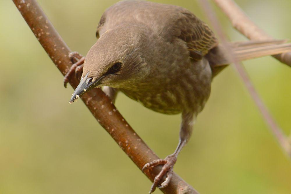 Starling  ( Juvenile ) by Mart  R Porter