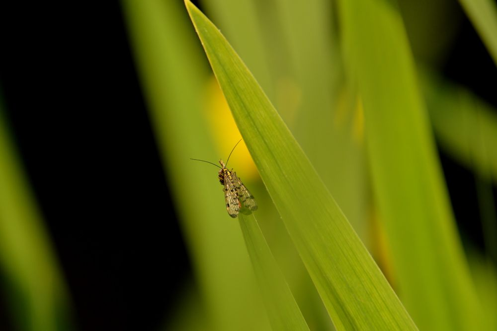 Scorpion Fly (Female) by Mart R Porter