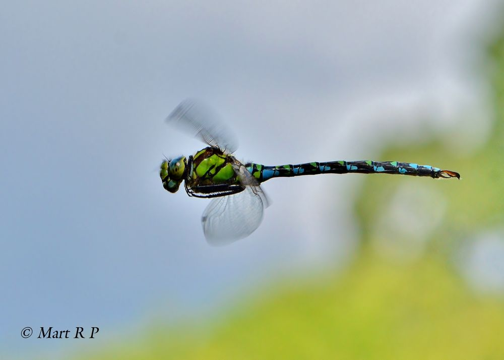 Southern Hawker by Mart  R Porter