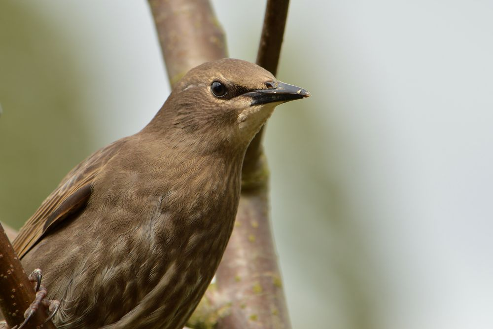 Starling (Juvenile) by Mart R Porter