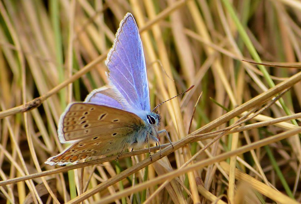 Silver Studded Blue by Mart  R Porter