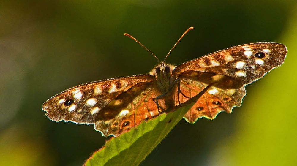 Speckled Wood by Mart  R Porter