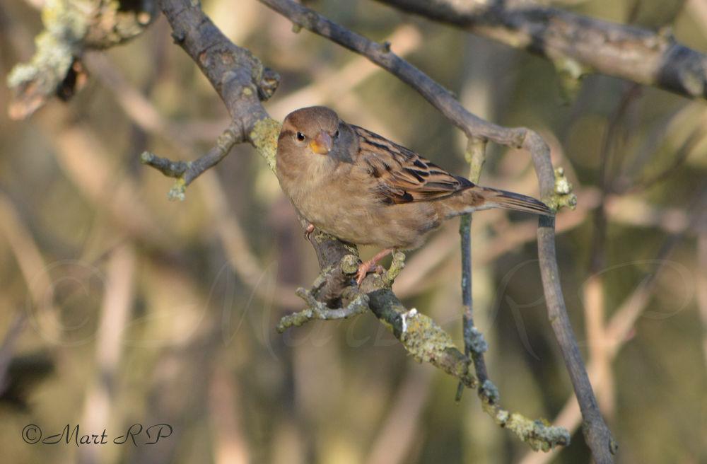 Photo in Nature #nature #wildlife #bird #birds #sparrow #nikon #d3200