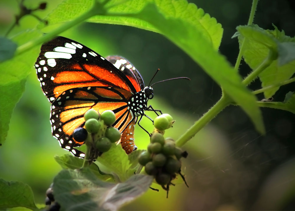 Photo in Nature #butterfly #striped tiger #nature #orange