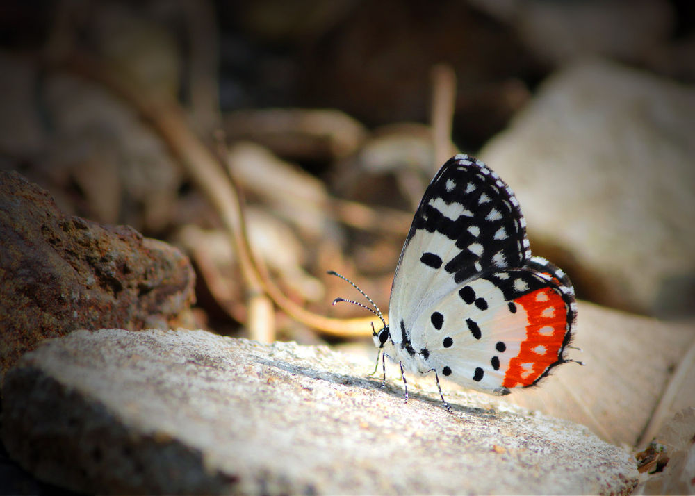 Red Pierrot Butterfly by subhashmasih
