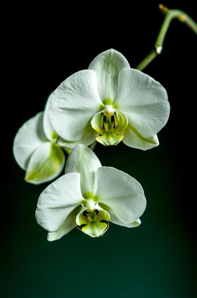 _DSC0013.jpg..Orchidées by photosdan