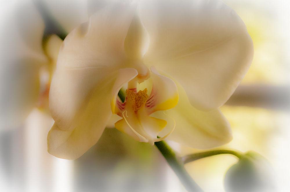 DSC_0004-3.jpg.. Orchid... by photosdan