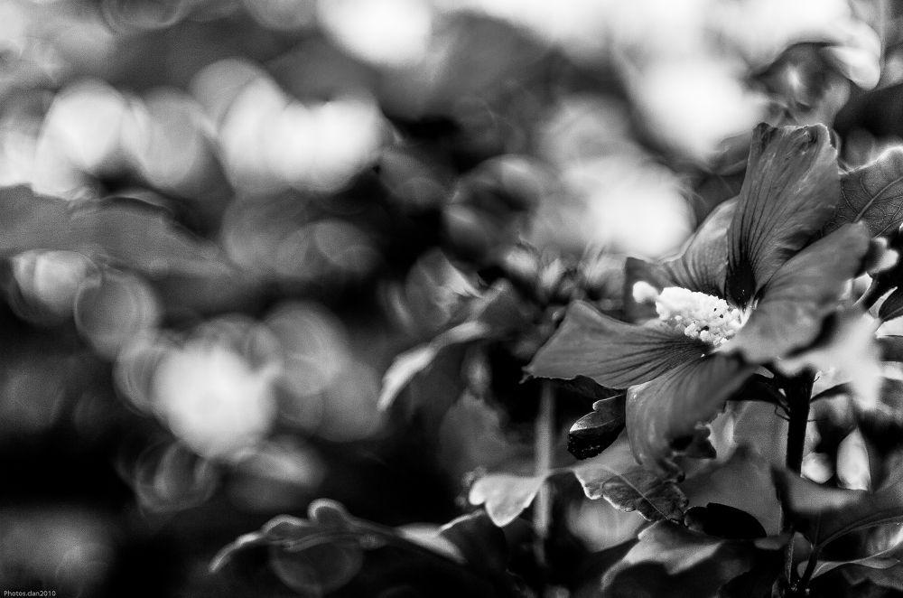 Hibiscus  dans le Bokeh B.W by photosdan