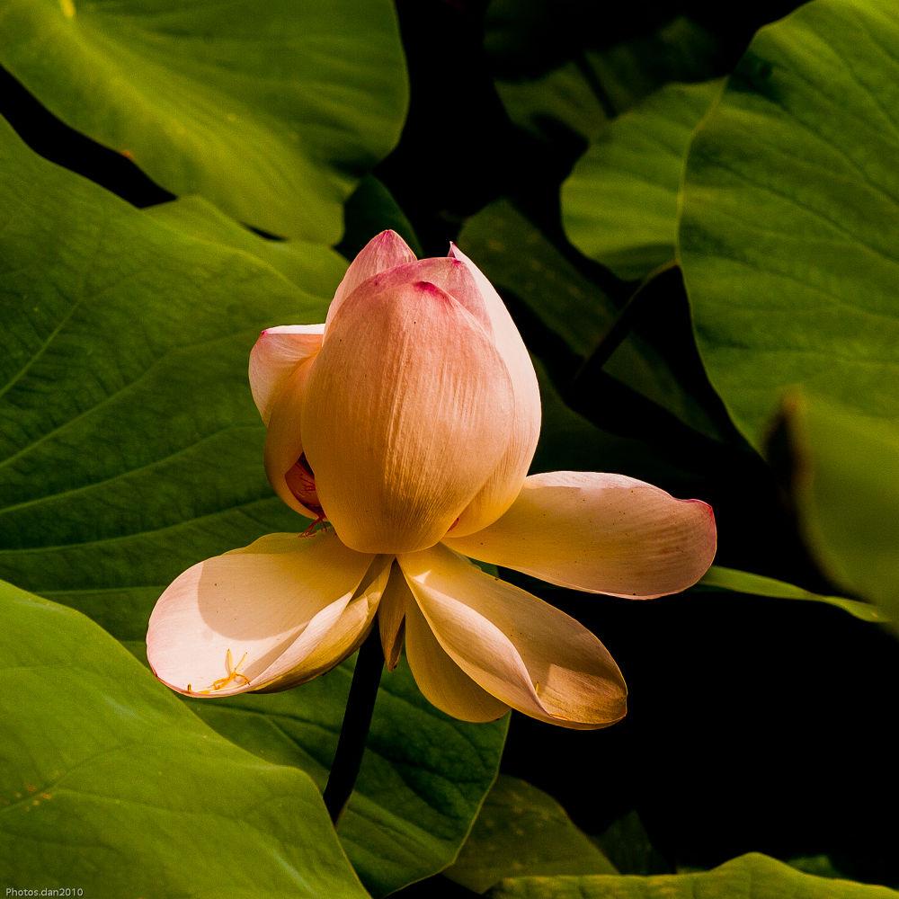 Lotus.... by photosdan