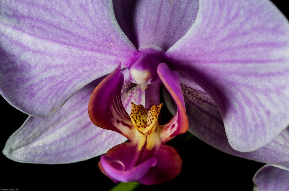 _DSC0065...Orchid...5 by photosdan
