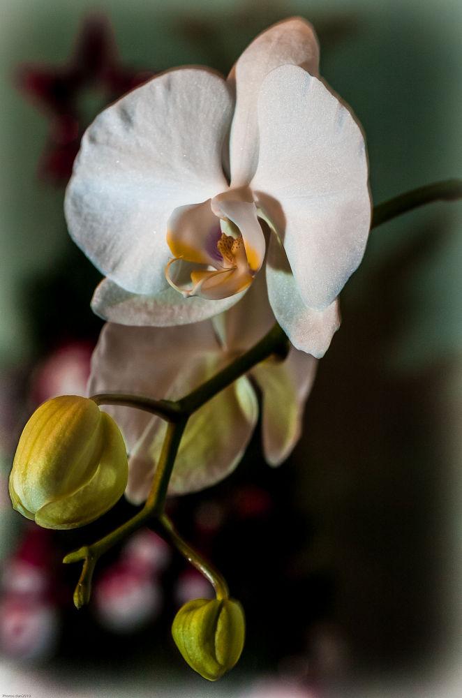 _DSC0115..Orchidées de Noël!!!! by photosdan