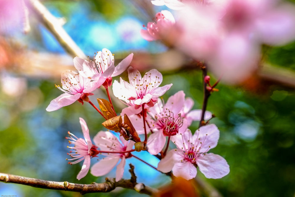 Prunus....Bokeh by photosdan