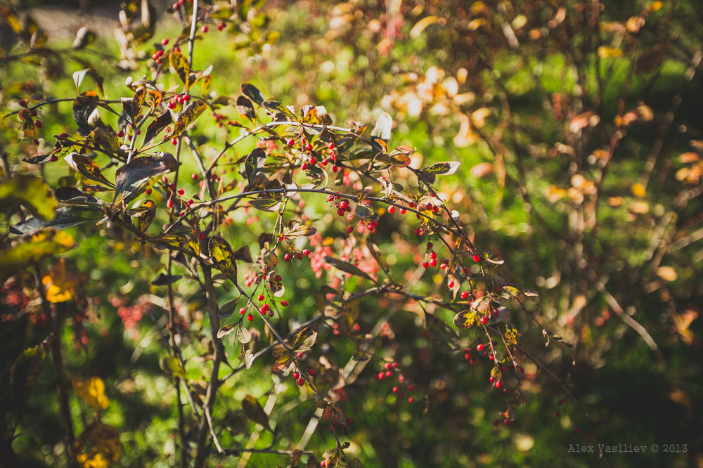 Photo in Nature #leaf #fall #berries #red #bush #autumn