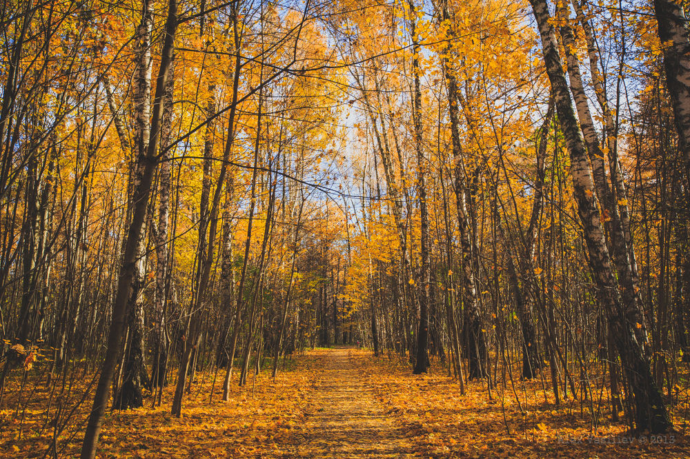 Photo in Landscape #autumn #leaf fall #birch #walkway #forest #yellow