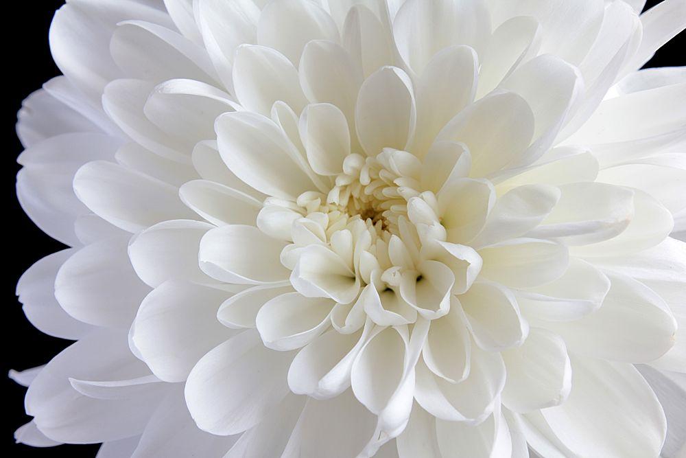 Photo in Nature #chrysanthemum #flower #white flower #kosovo #vendenis