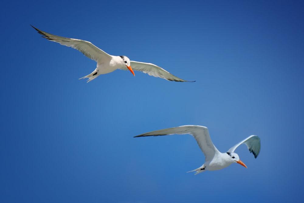 Two Terns by Jorge Coromina
