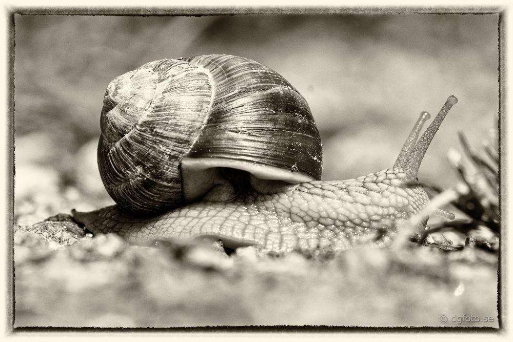 B/W Snail by Dennis Graversen