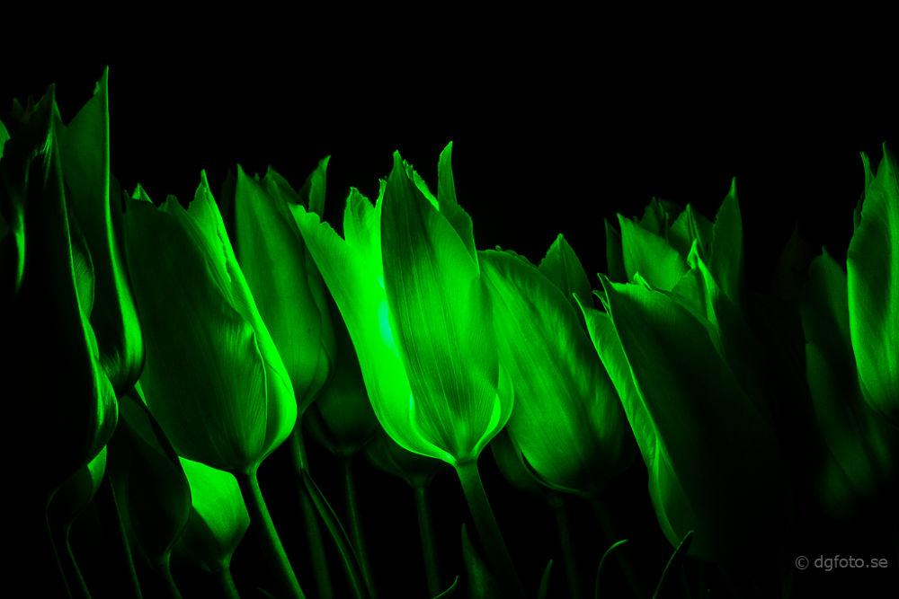 Photo in Random #tulip #laser #green