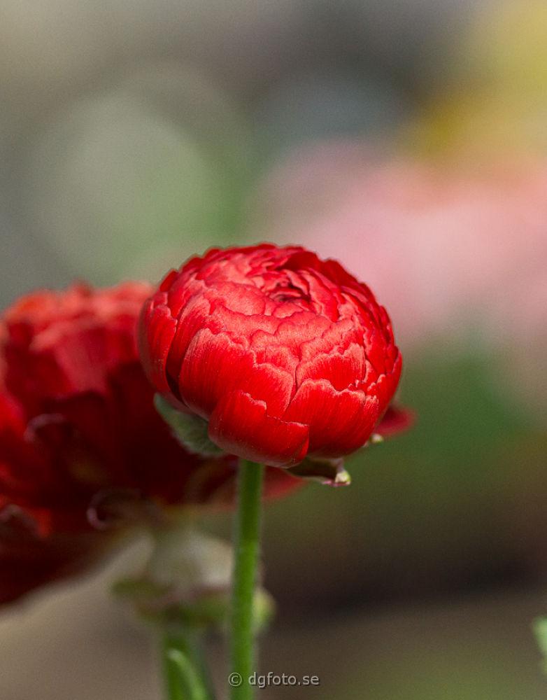 red by Dennis Graversen