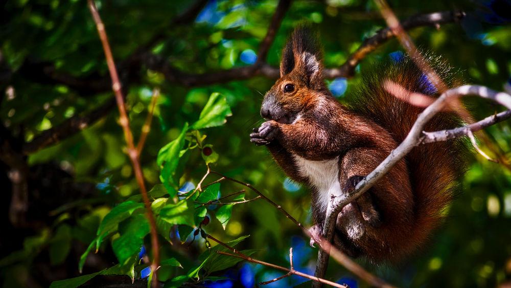 Praying squirrel by Cretu Stefan