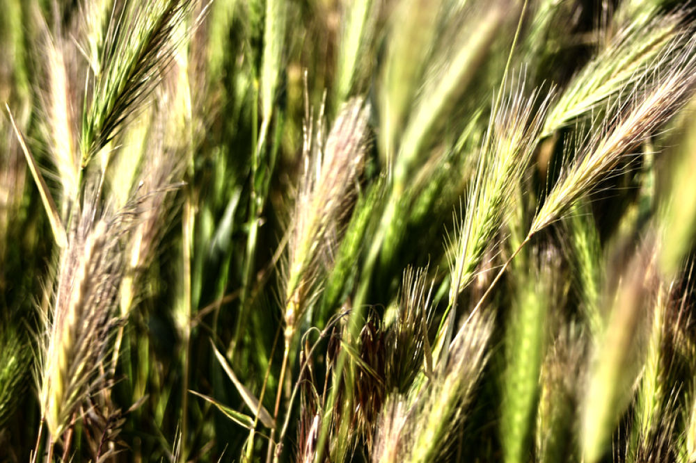 wheat field  by sahoora83