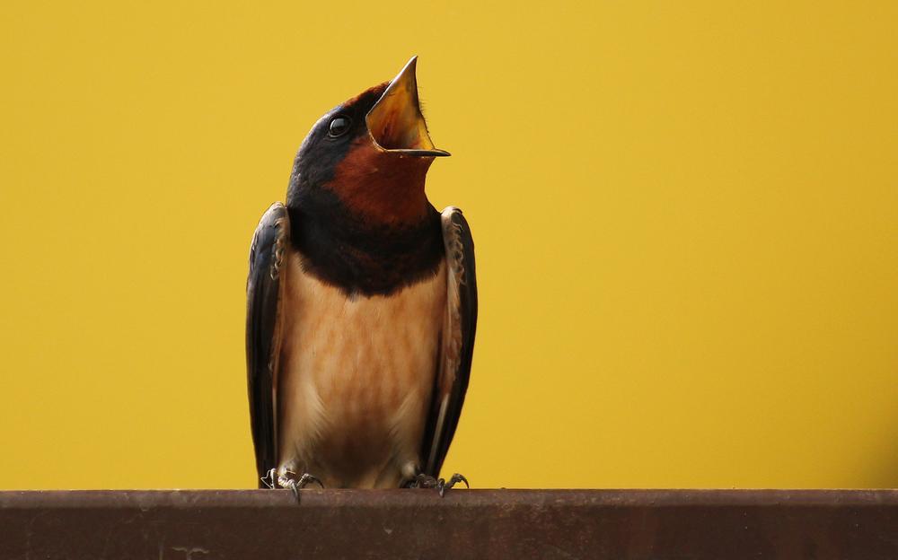 Photo in Animal #swallow #bird #ornito #martlet #liteon #düzce #nature
