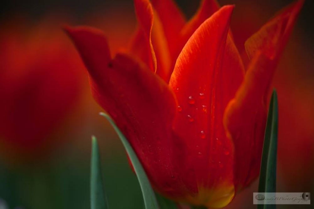 Red Tulips by cindybosveld9