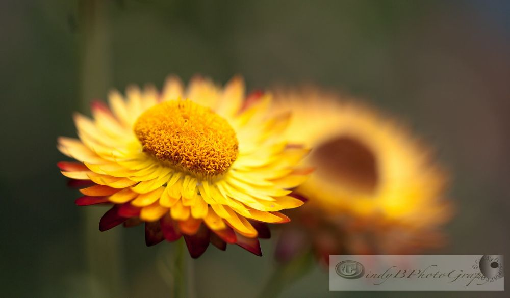 Daisy... by cindybosveld9