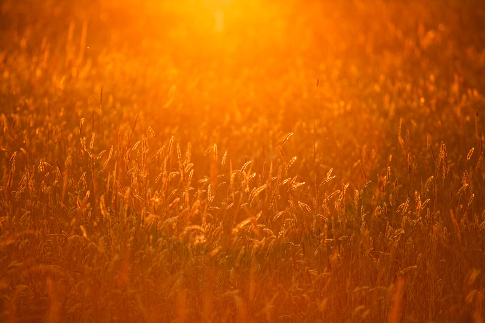 Sparkling Wheat by cindybosveld9
