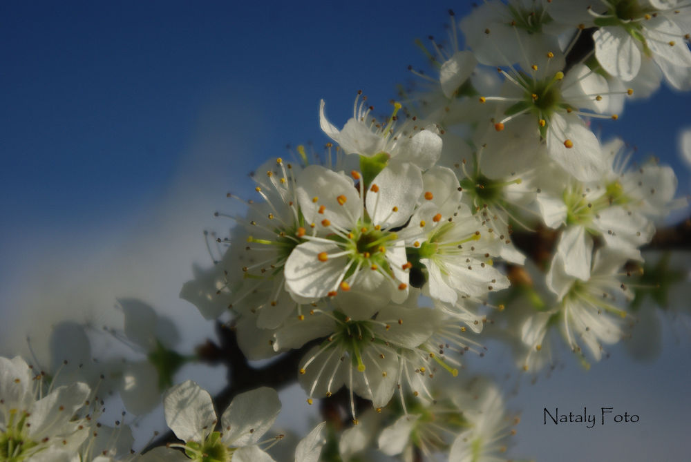 Hawthorn blossom by Nataly Foto