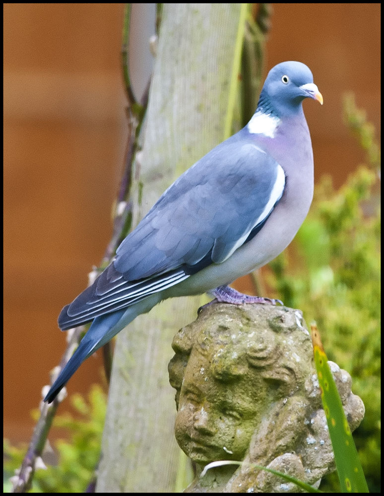 Wood Pigeon in the garden by David Pearson