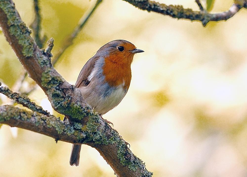 Photo in Random #robin #garden #nature #wild