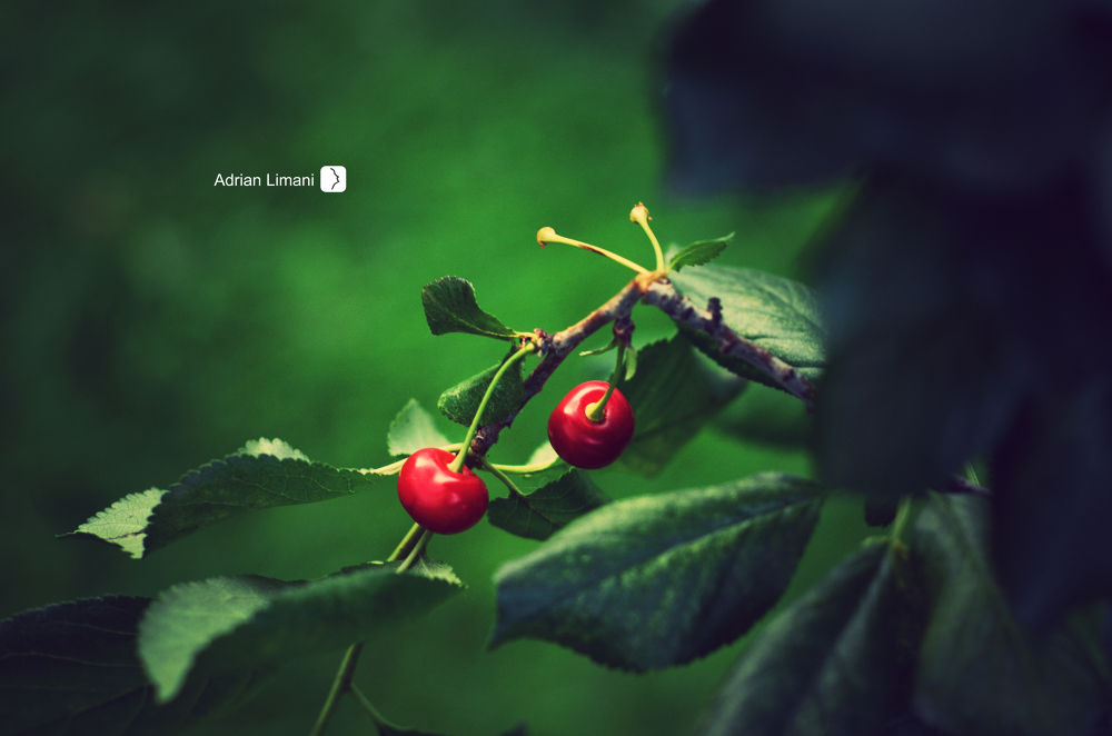 cherry by Adrian Limani