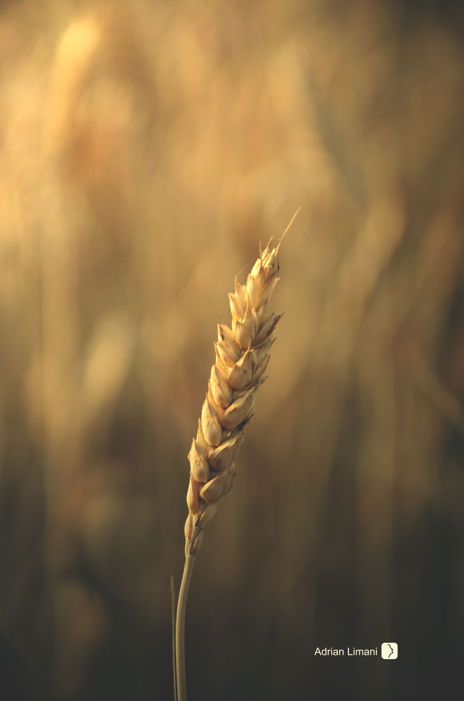 golden wheat by Adrian Limani