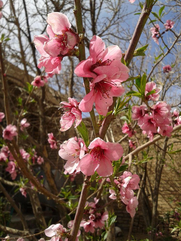 Blossom's Peach.jpg by nkargar1356