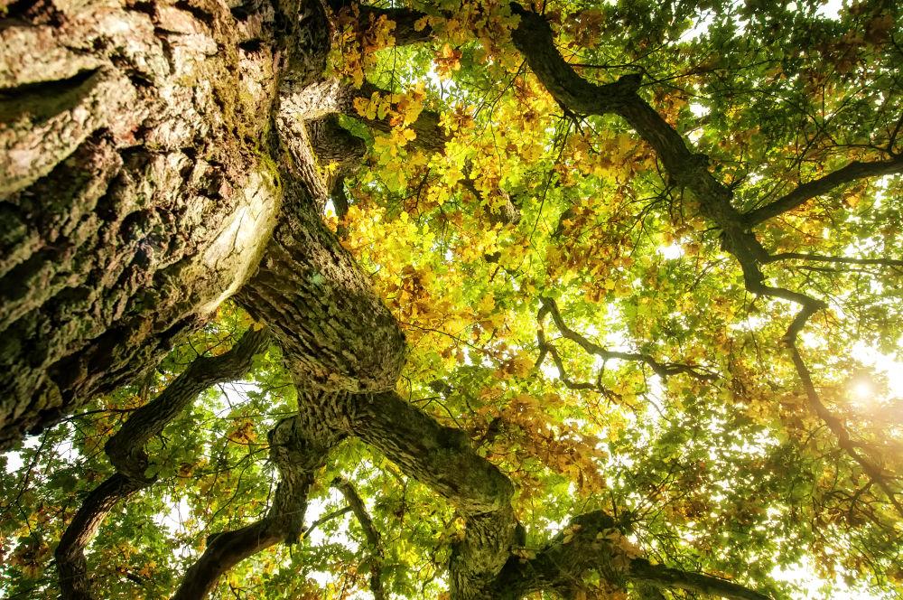 Photo in Nature #oak #tree #old #sky #up #sun #leaf #nature
