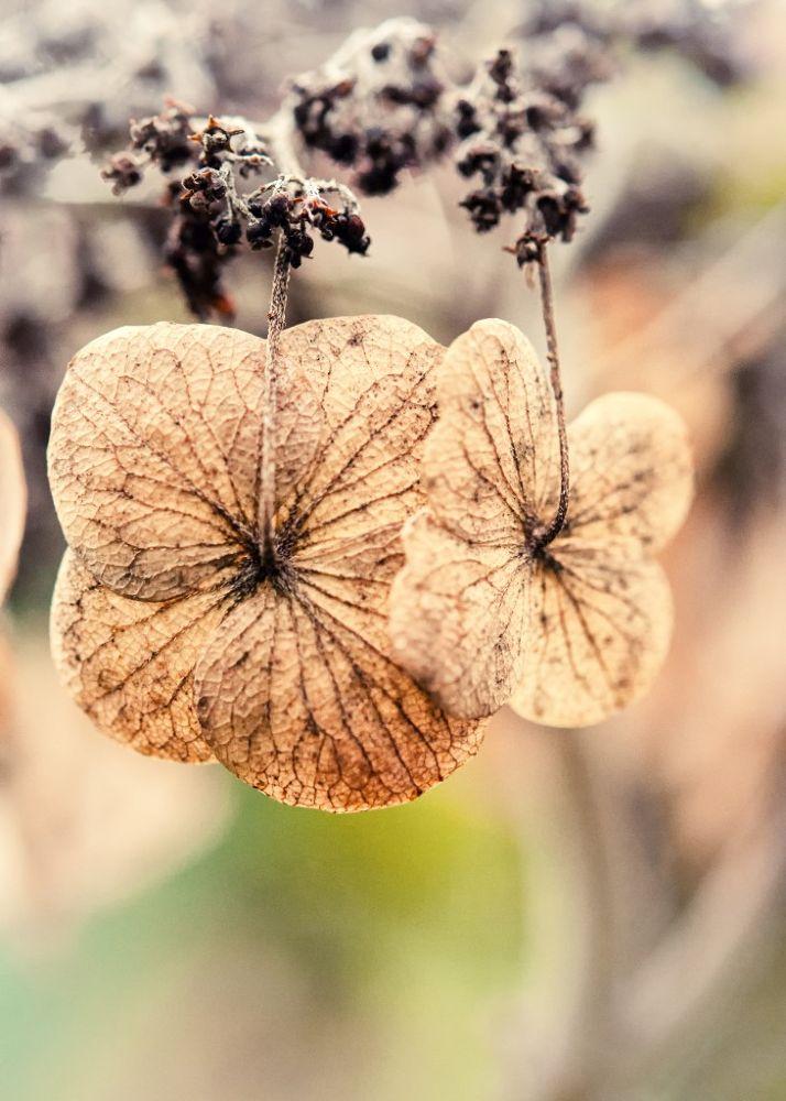 Hydrangea by Kirsten Karius